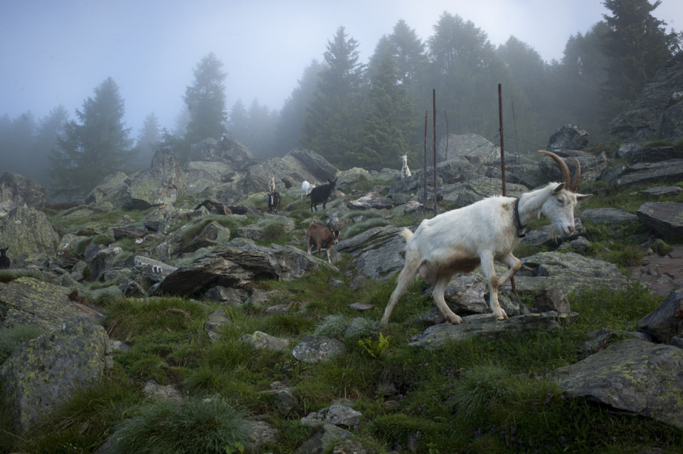 Herding goats in the Alps